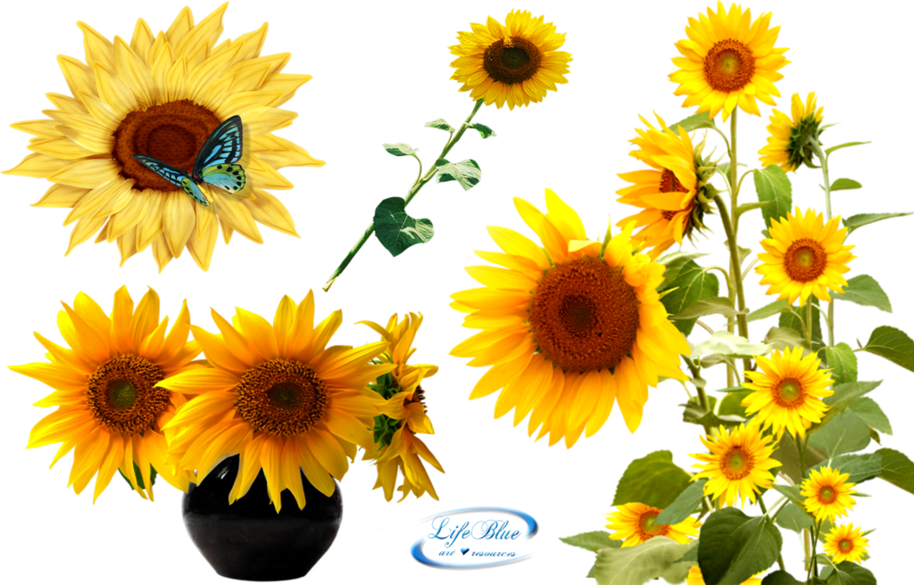 Clipart png sunflower. Sunflowers by lifeblue on