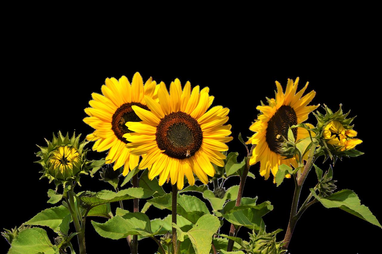 Clipart png sunflower. Common clip art oil