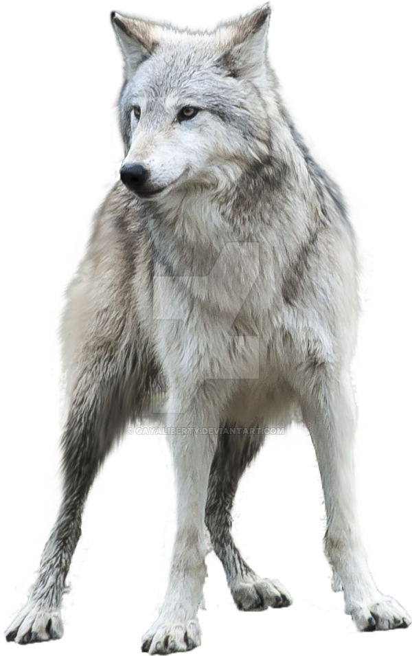 Grey png mart . Wolf clipart clear background