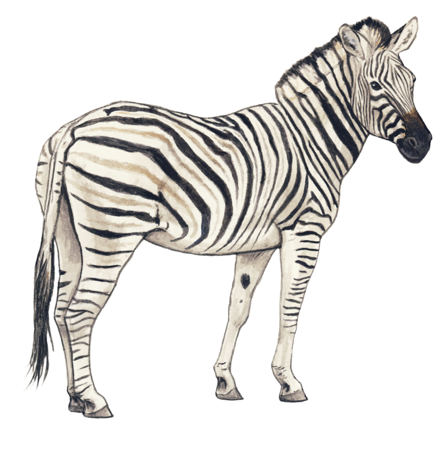 Clipart zebra zebra eating grass. Png images transparent free