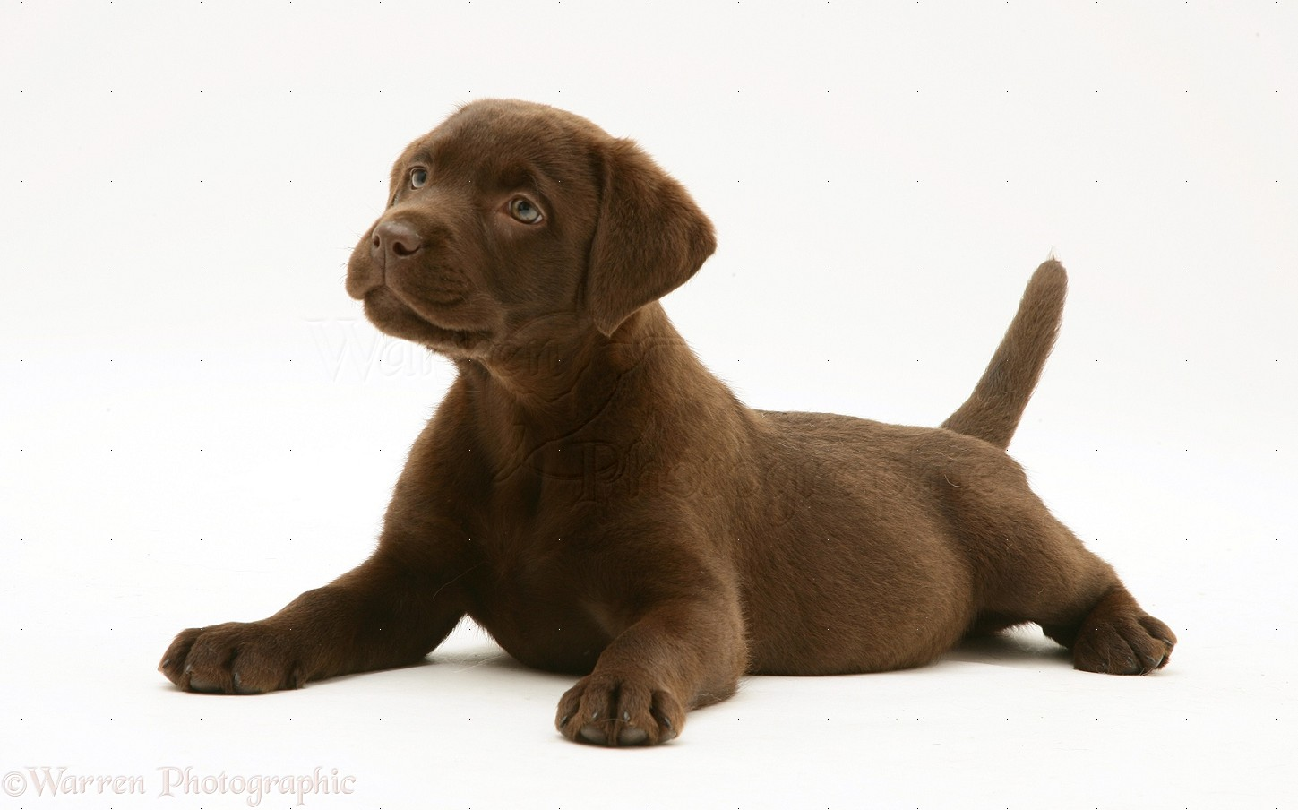 Free cliparts download clip. Clipart puppy chocolate lab