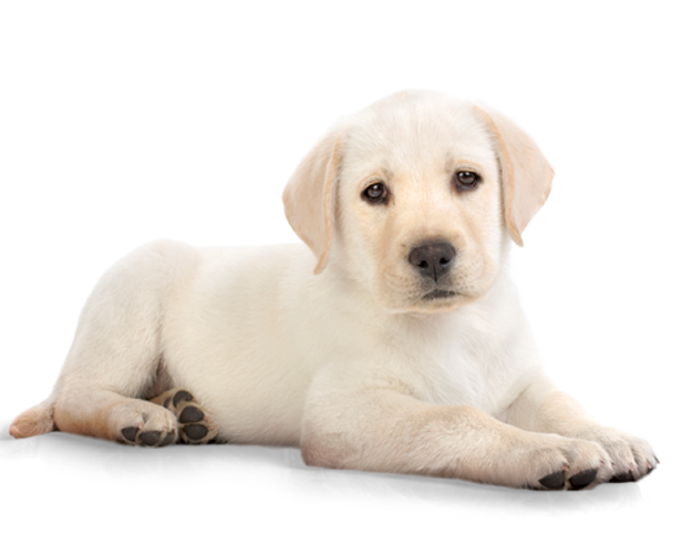 Dog png image zwierz. Clipart puppy chocolate lab