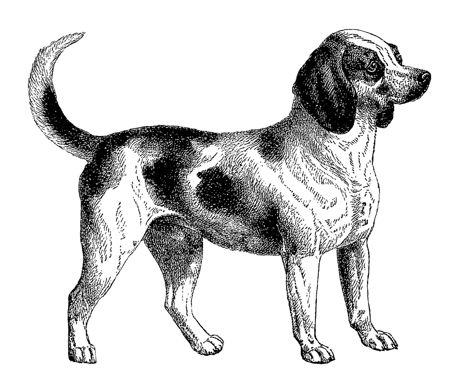 Clipart puppy chocolate lab. Beagle dogpng png dogs