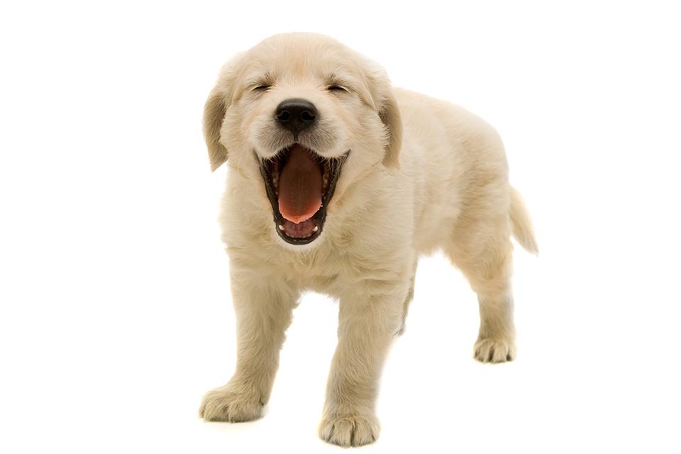 Png transparent image mart. Clipart puppy golden retriever