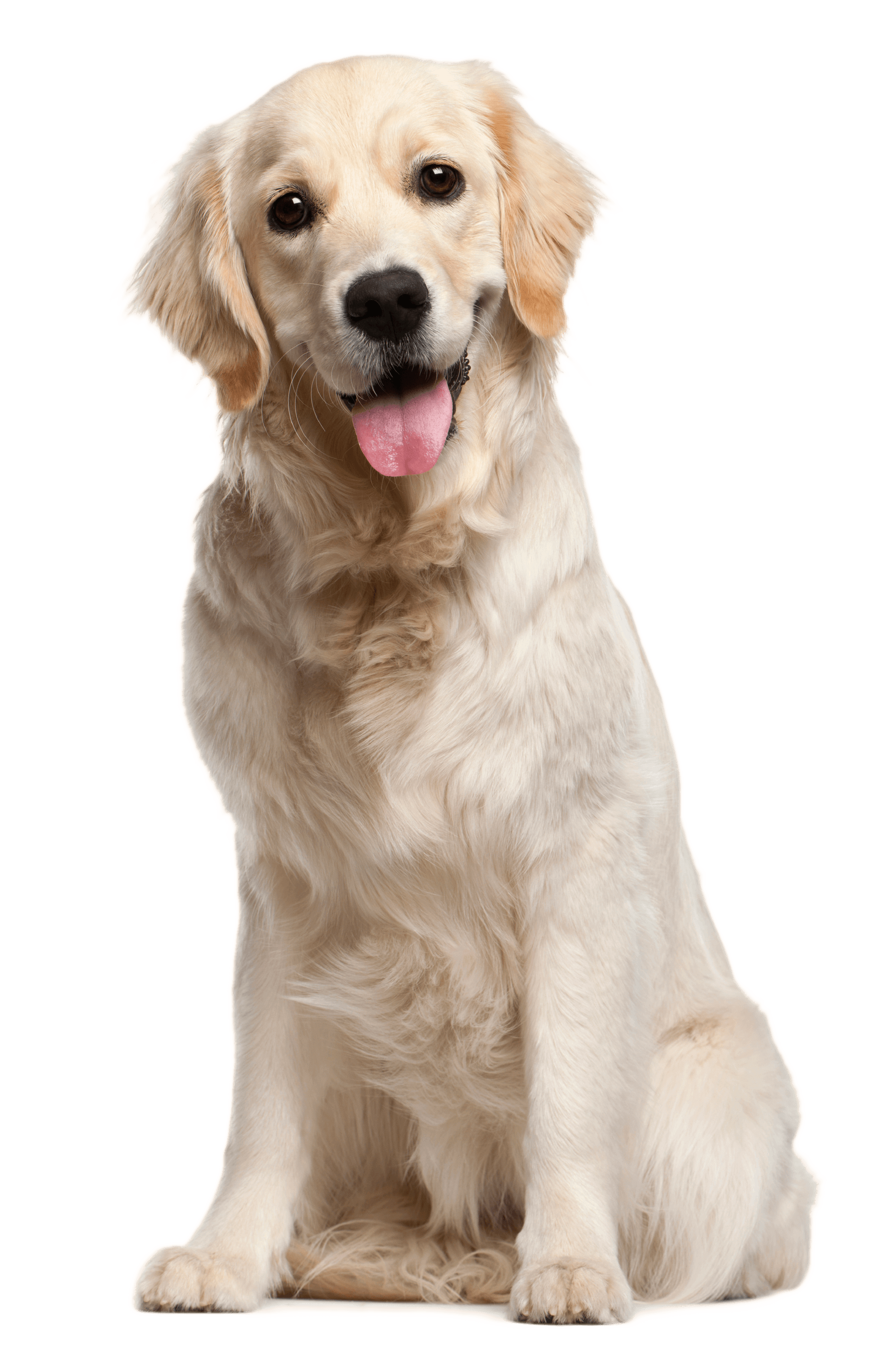 Pet clipart golden retriever puppy. Strategies on how to
