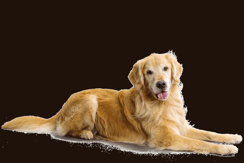 Clipart puppy golden retriever. Petmapz by dr katz