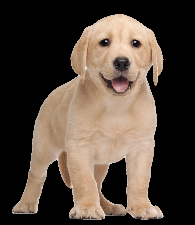 Clipart puppy labrador. Retriever yorkshire terrier clip