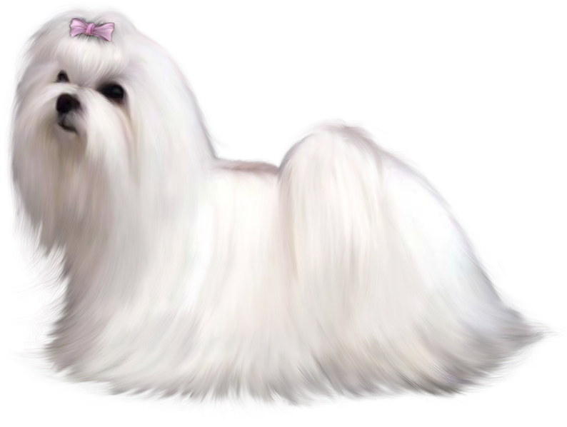 Clipart puppy maltipoo. Painted maltese dog png