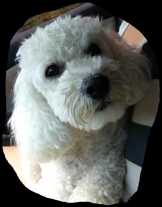 White female maltese cutties. Clipart puppy maltipoo