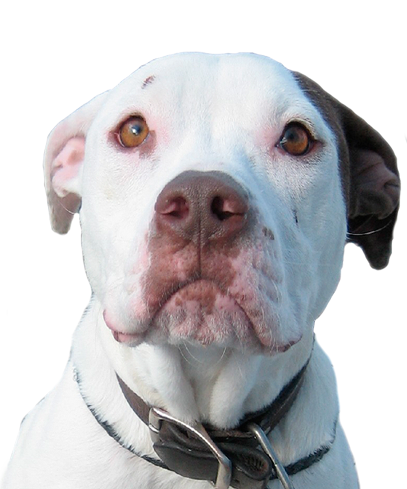 Save a rescue rehabilitate. Clipart puppy pit bull