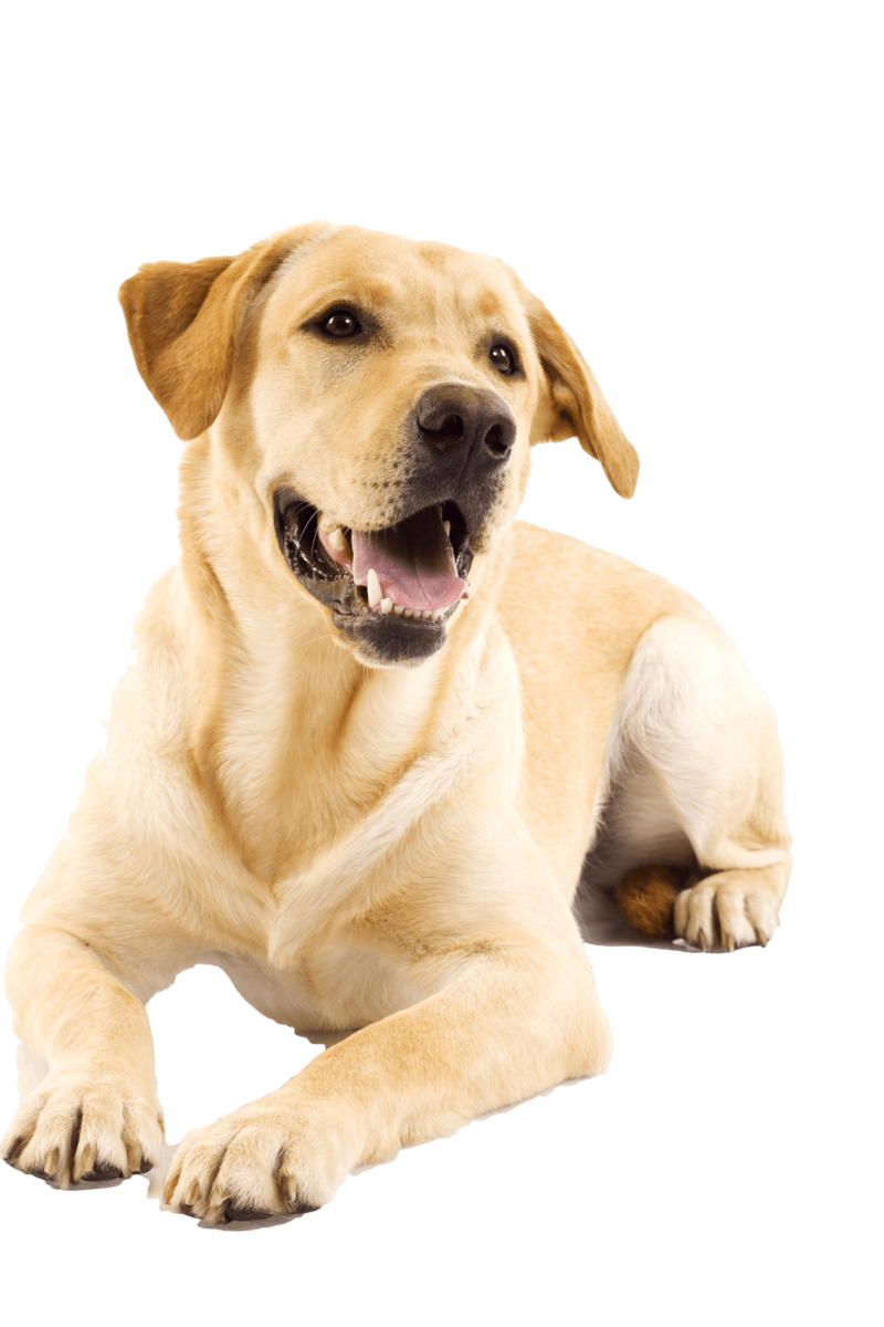 Labrador laughing nail art. Clipart puppy yellow lab