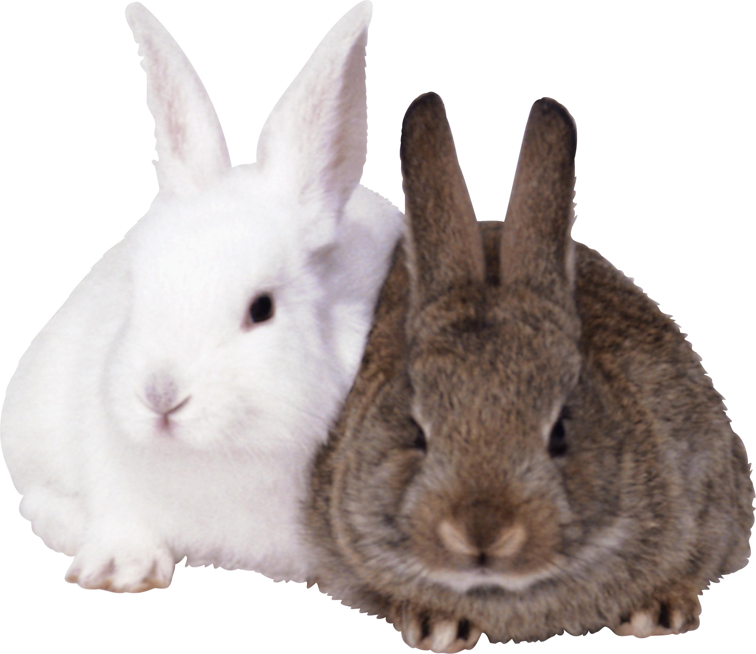 Ears clipart white rabbit. Fifteen isolated stock photo