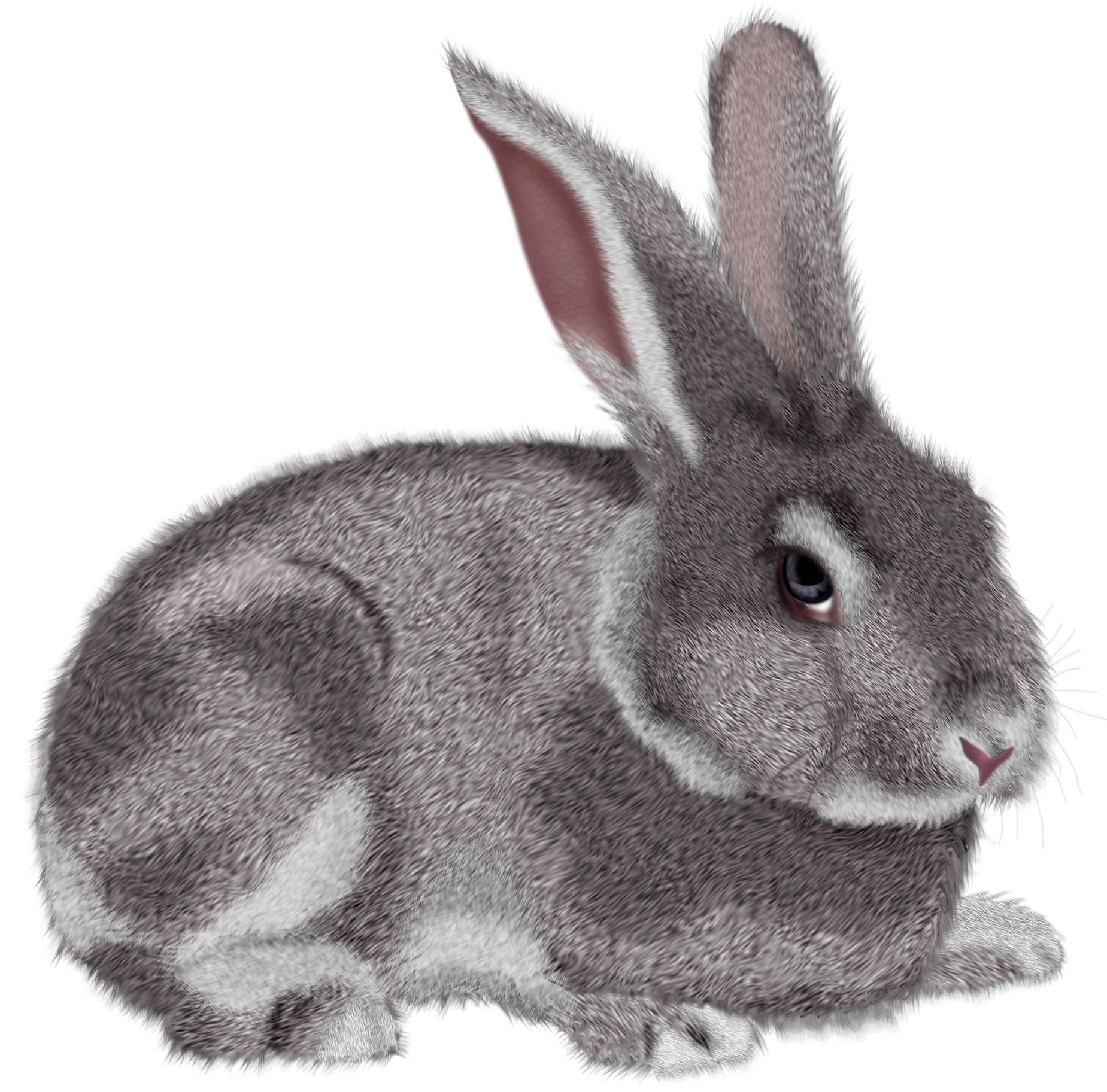 Pets clipart bunny. Grey rabbit picture cards