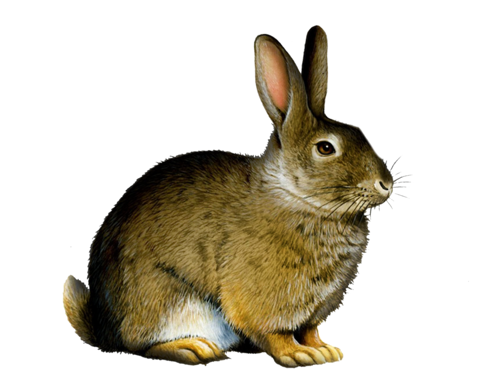 Clipart rabbit jack rabbit. Png by moonglowlilly on