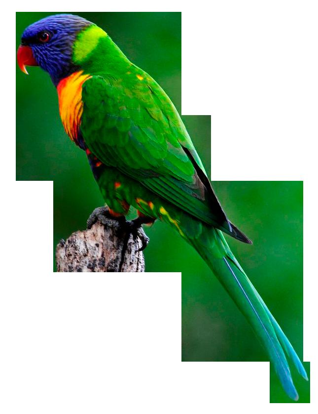 Clipart rainbow bird.  collection of lorikeet