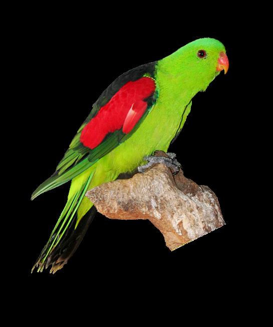 Red winged birding pinterest. Clipart rainbow parrot