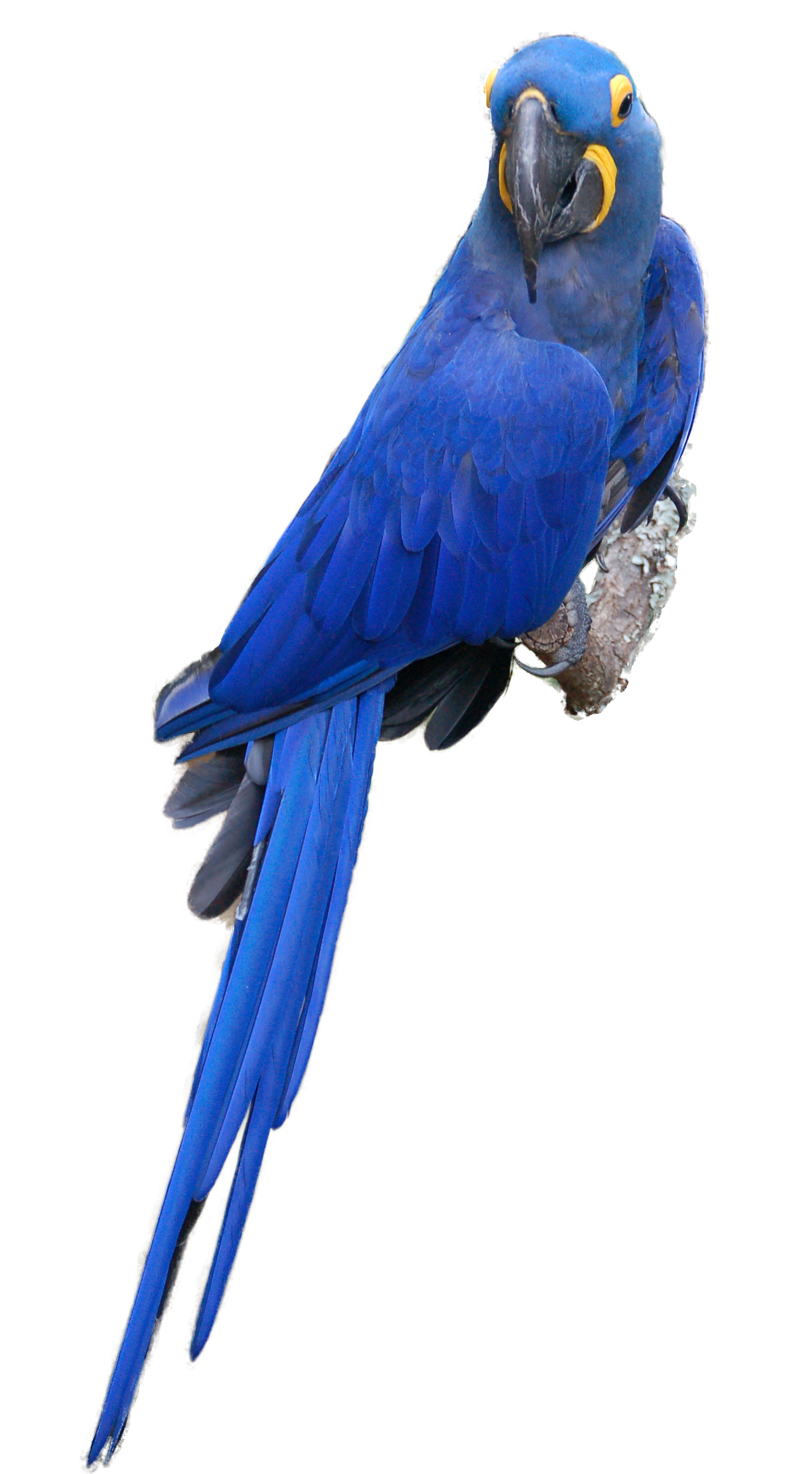 toucan clipart macaw toucan macaw transparent free for