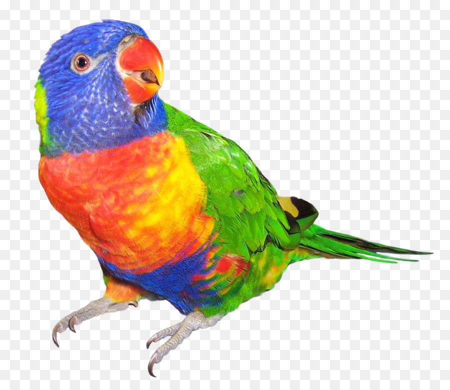 Parrot clipart rainbow. Cartoon bird feather transparent