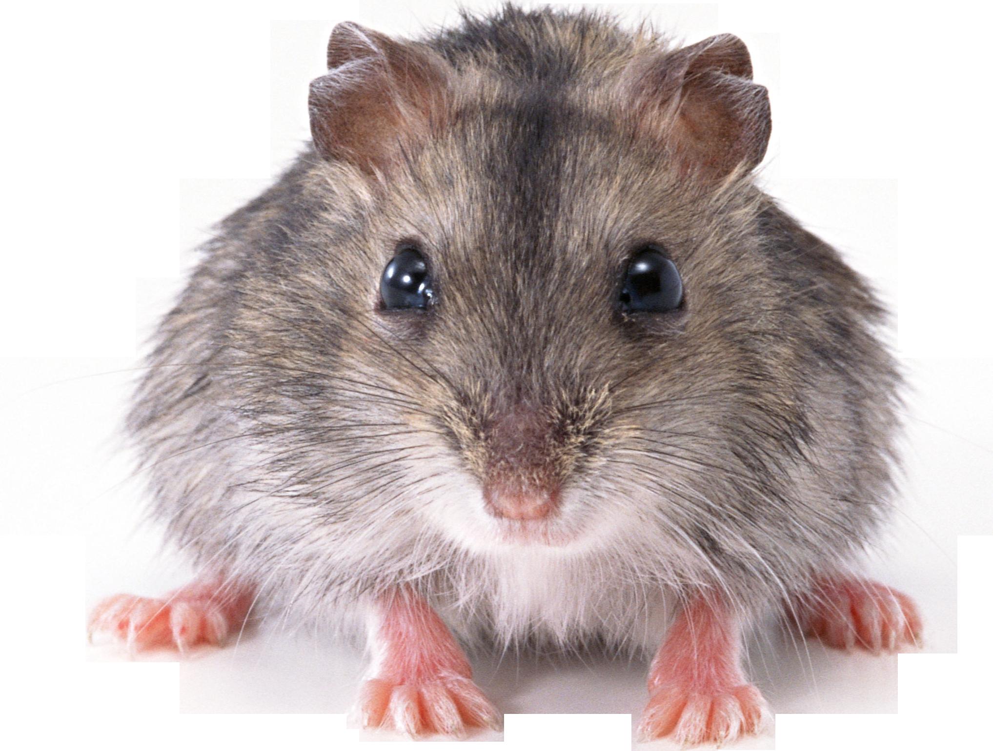 Mouse rat panda free. Hamster clipart gerbil