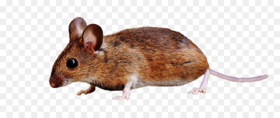 Clipart rat brown colour. Cartoon mouse iphone transparent