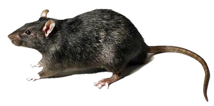 Png images transparent free. Rat clipart clear background