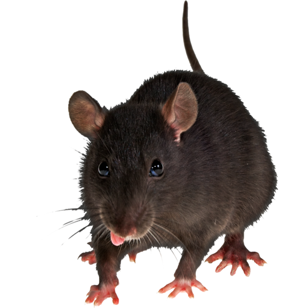 Pests in and around. Clipart rat clear background