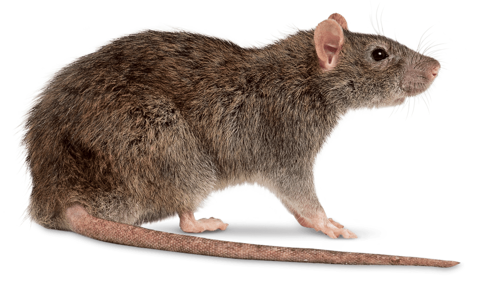 Clipart rat clear background. Right transparent png stickpng