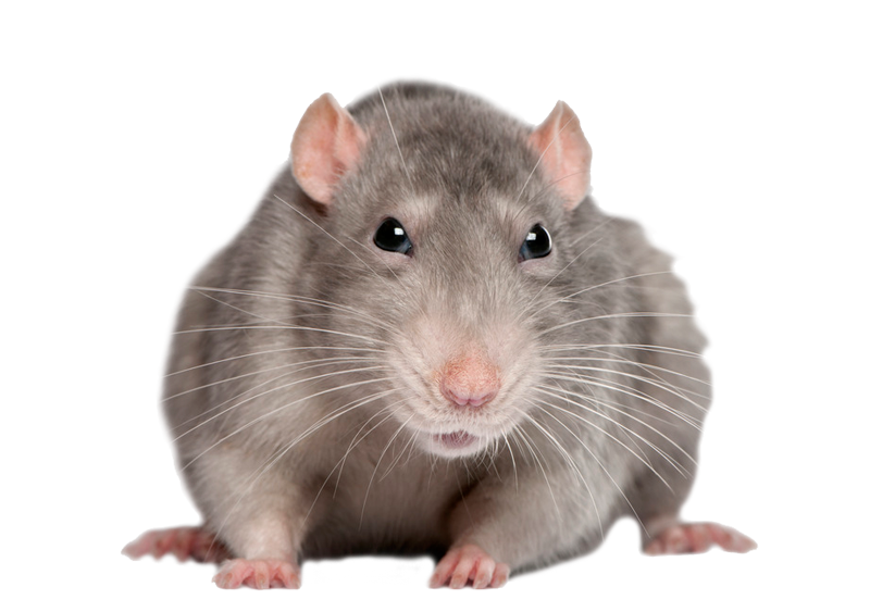 Rat mouse png file. Hamster clipart transparent background
