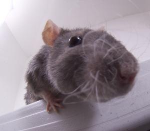 Free mouse photo image. Clipart rat crazy