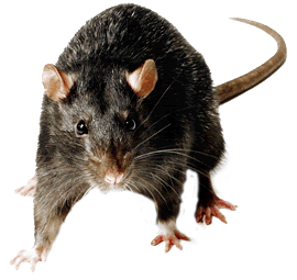 Clipart rat creepy. Take your presentation from