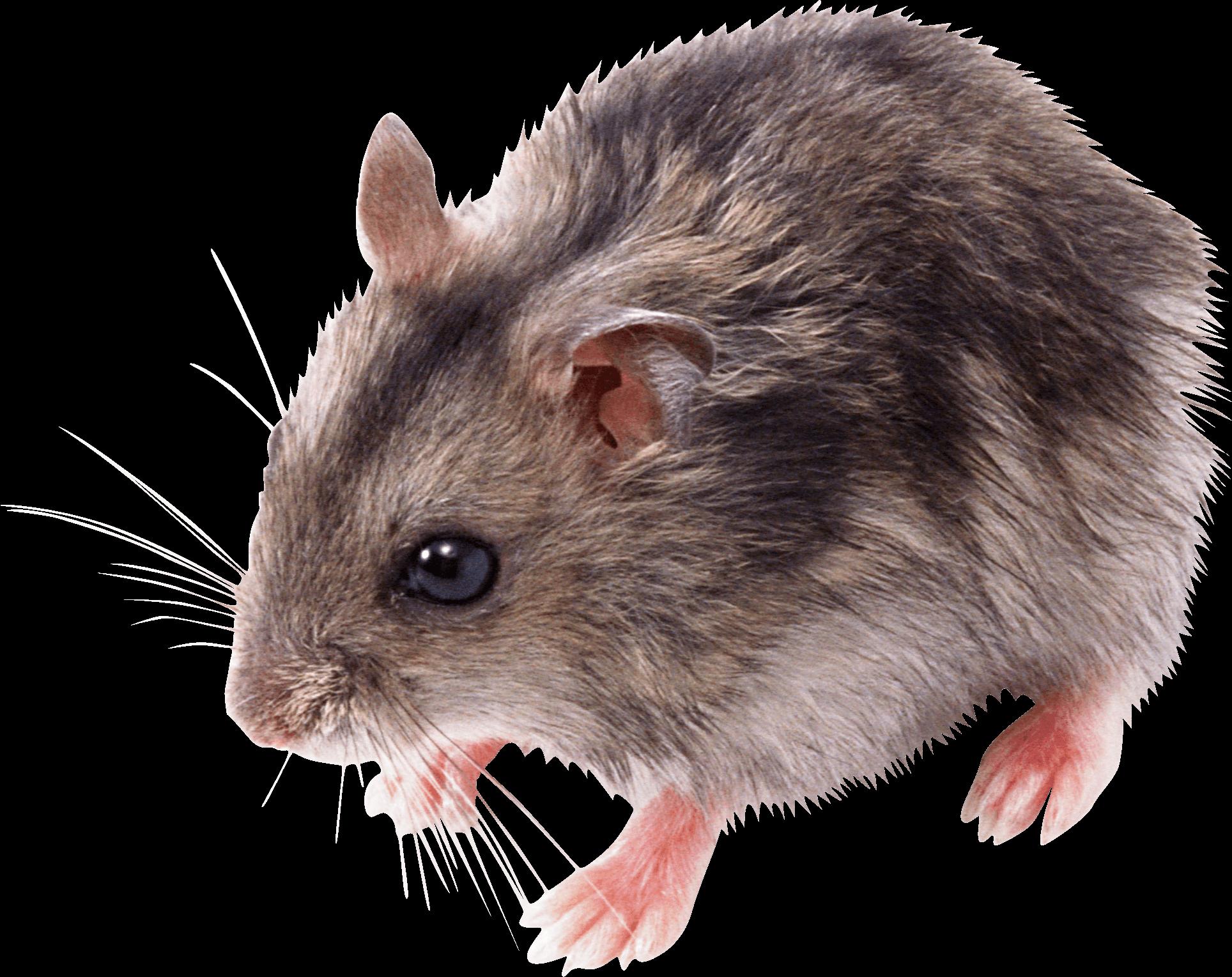 Clipart rat desert mouse. Download little png image