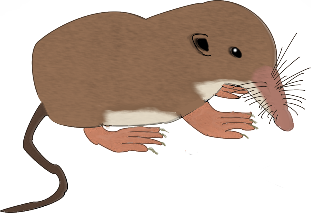 Shrew attempt by samuelearl. Clipart rat desert mouse