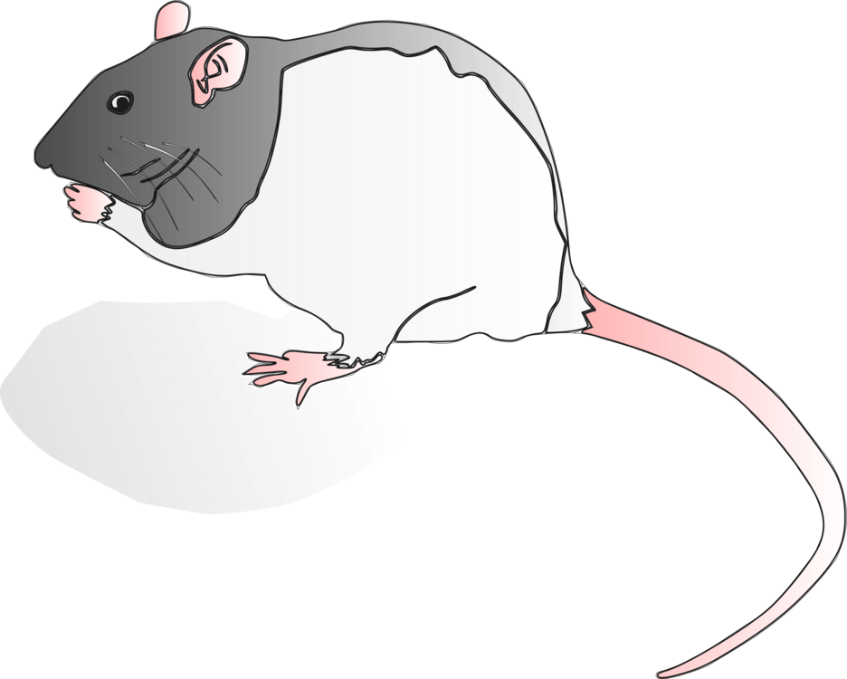 Clipart rat fancy. Snout muridae tail png
