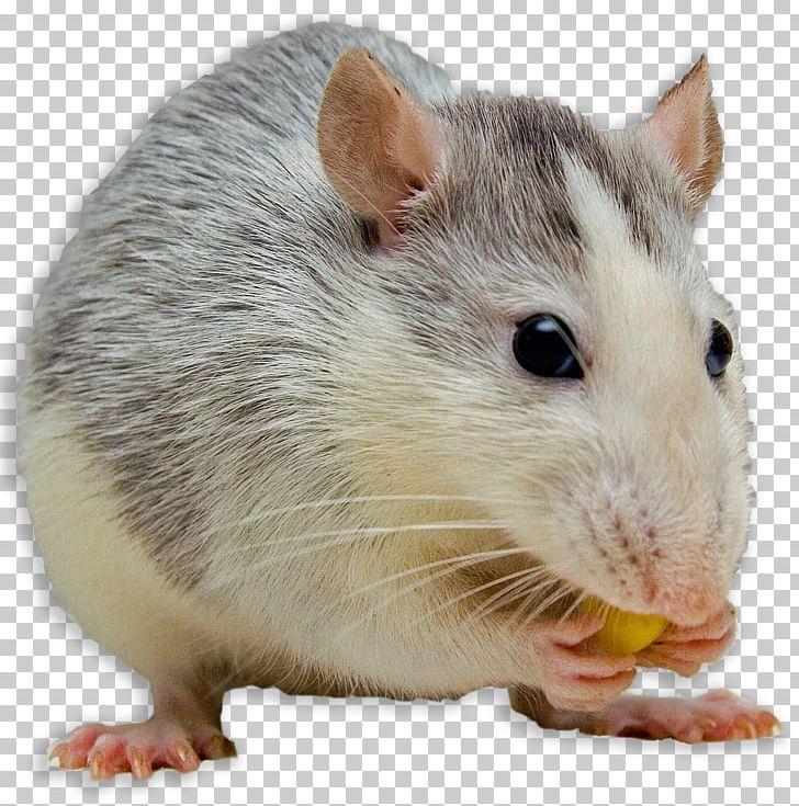 Clipart rat female rat. Mouse black dog fancy