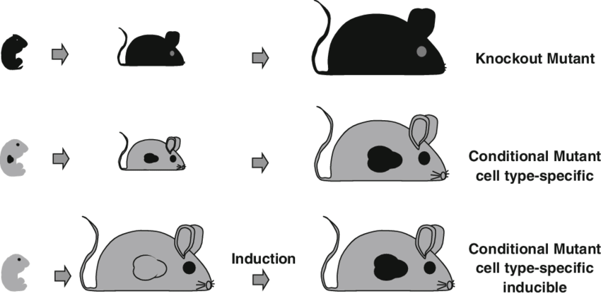 Gene targeting strategies top. Footprint clipart rat