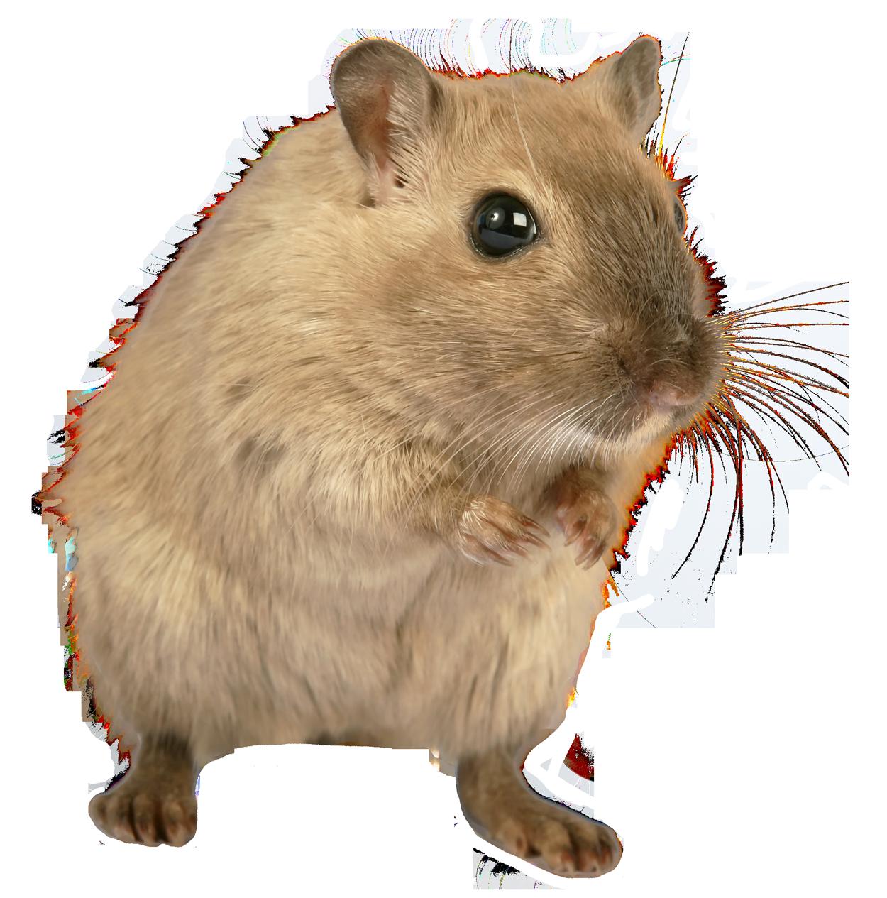 Hamster clipart gerbil. Rat mouse png image