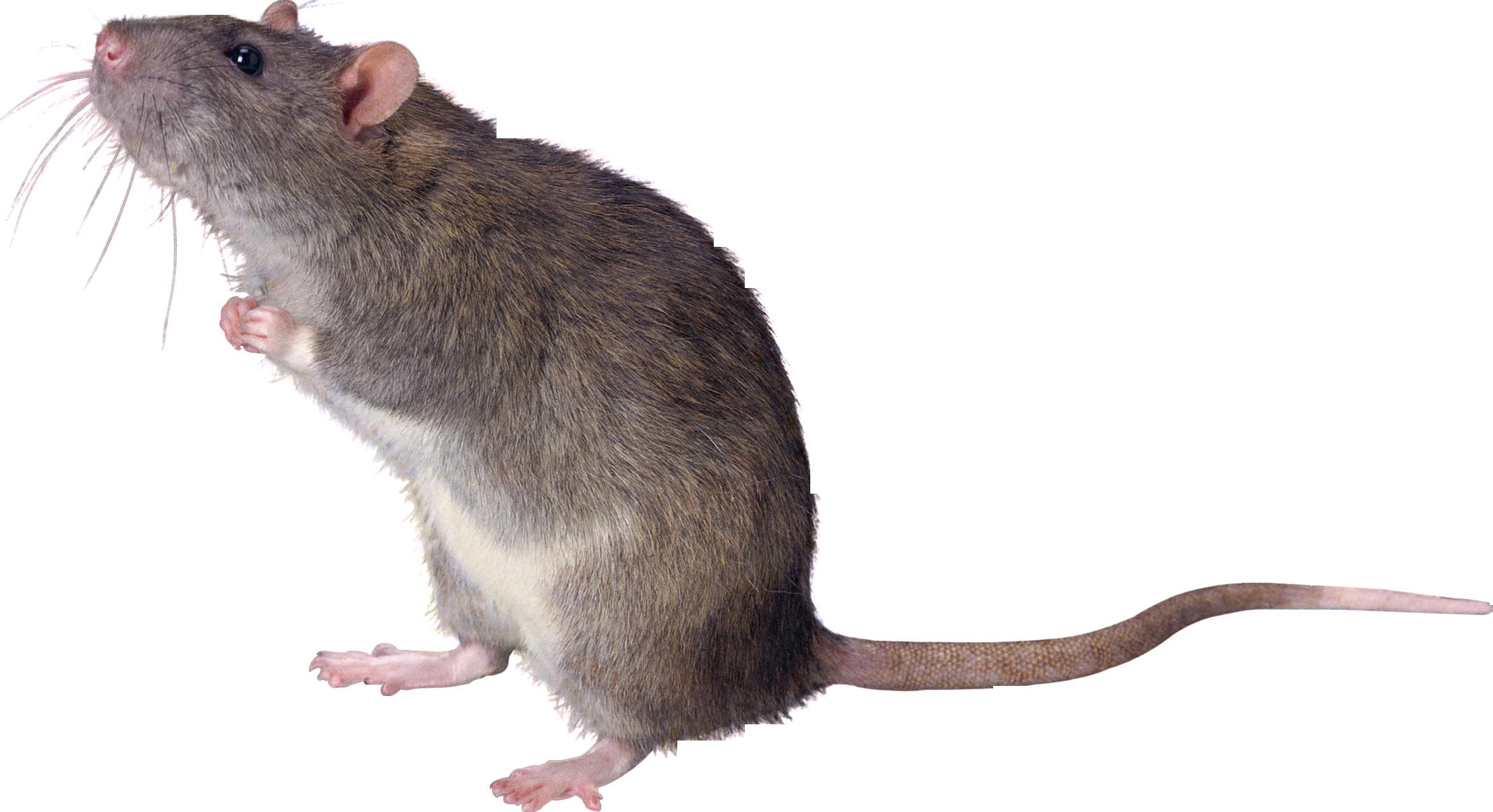 Clipart rat huge. Png transparent images pluspng
