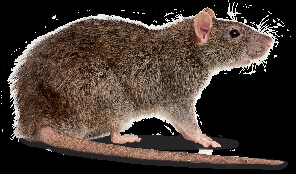 Clipart rat kangaroo rat. These heavy sands are