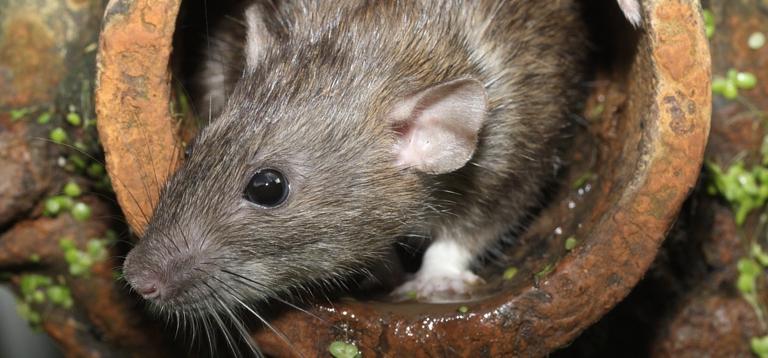 X free clip art. Clipart rat leptospirosis