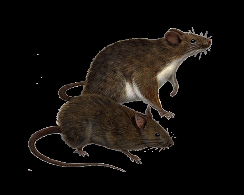 Clipart rat sad rat. Download png hq image