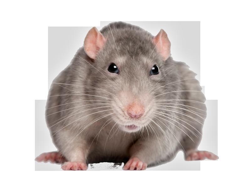 Mouse png animal pinterest. Clipart rat sewer rat