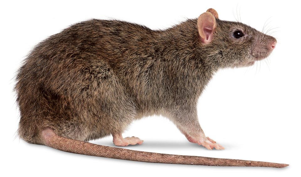 pieces of widescreen. Clipart rat sewer rat