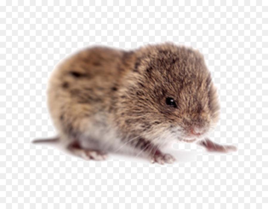 Rat clipart vole. Rodent common clip art