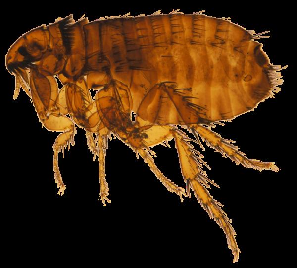 Clipart rat yersinia pestis. Flea png images free