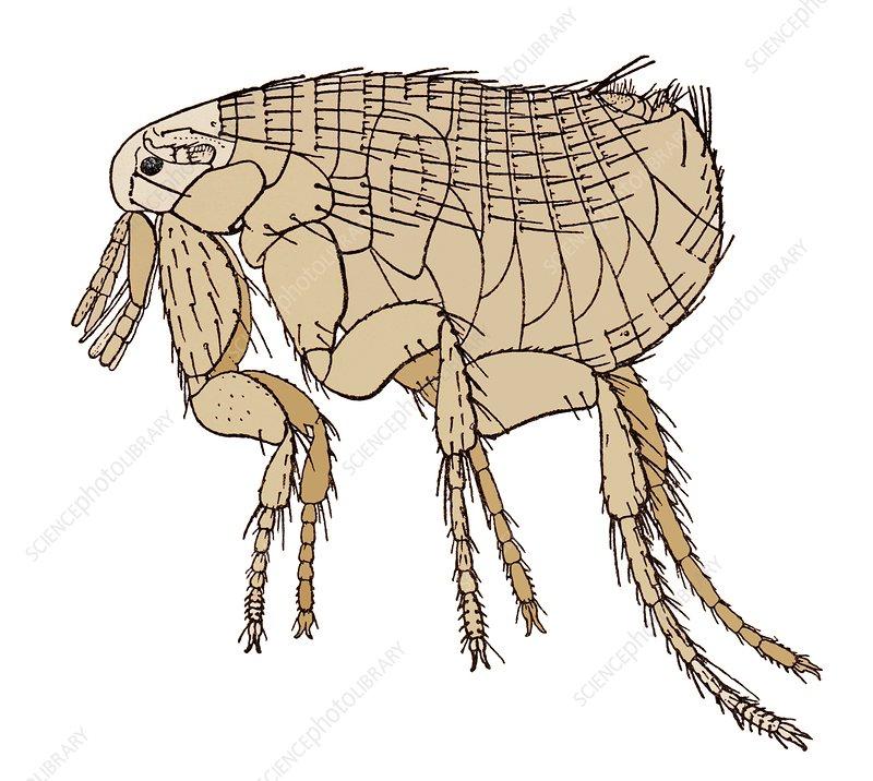 clipart rat yersinia pestis