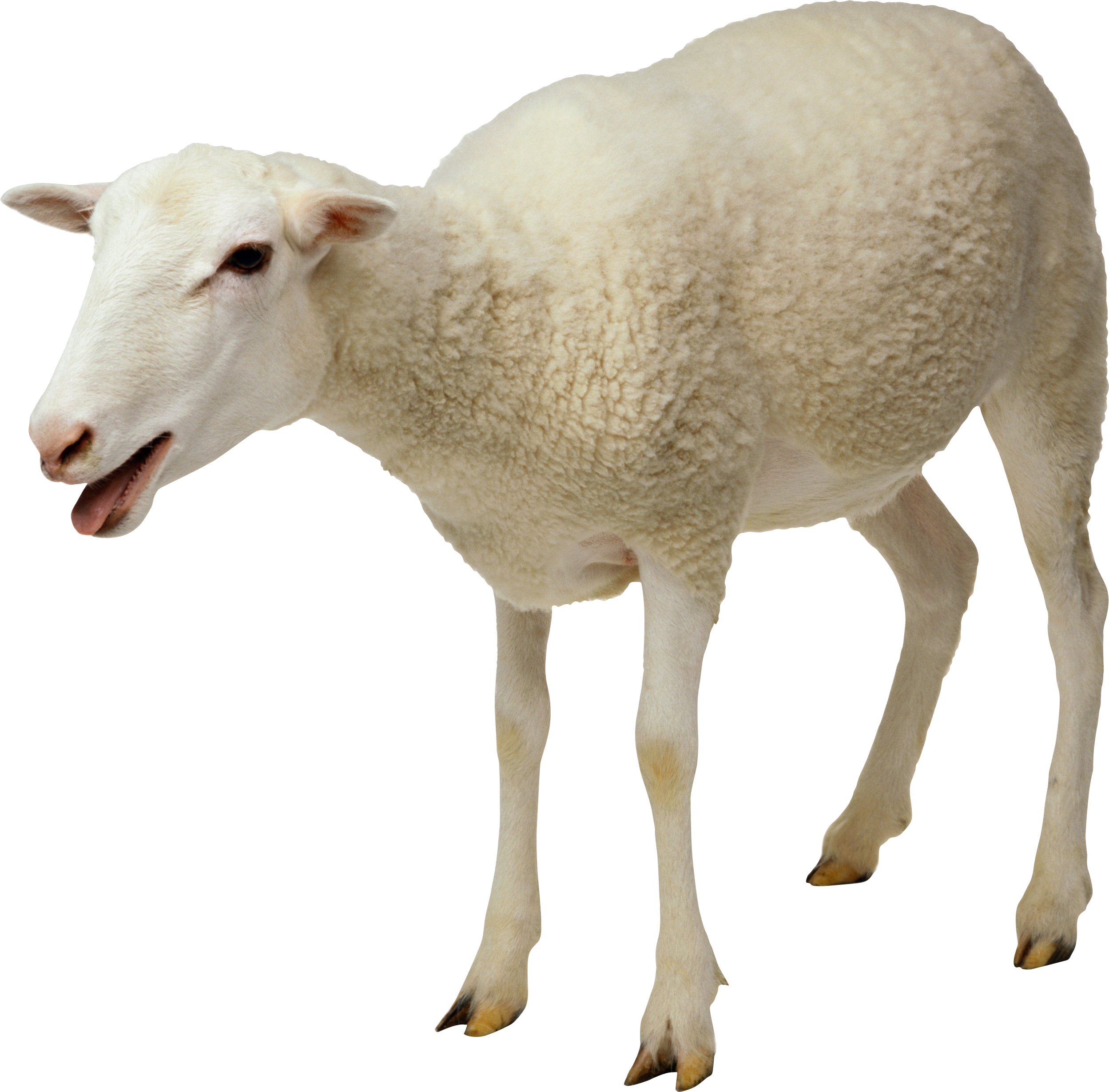 Lamb clipart dolly sheep. Png zvierat pinterest animal