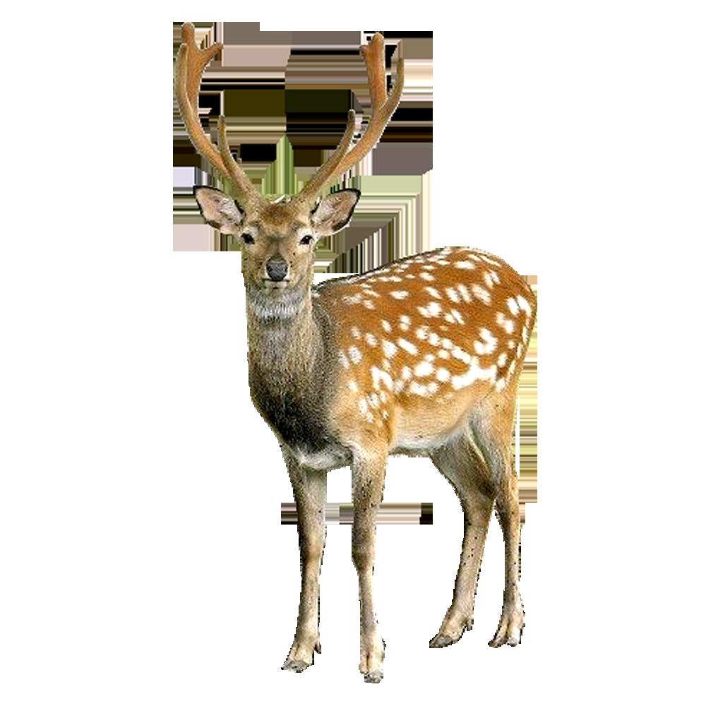 Elk clipart barasingha. Deer png images