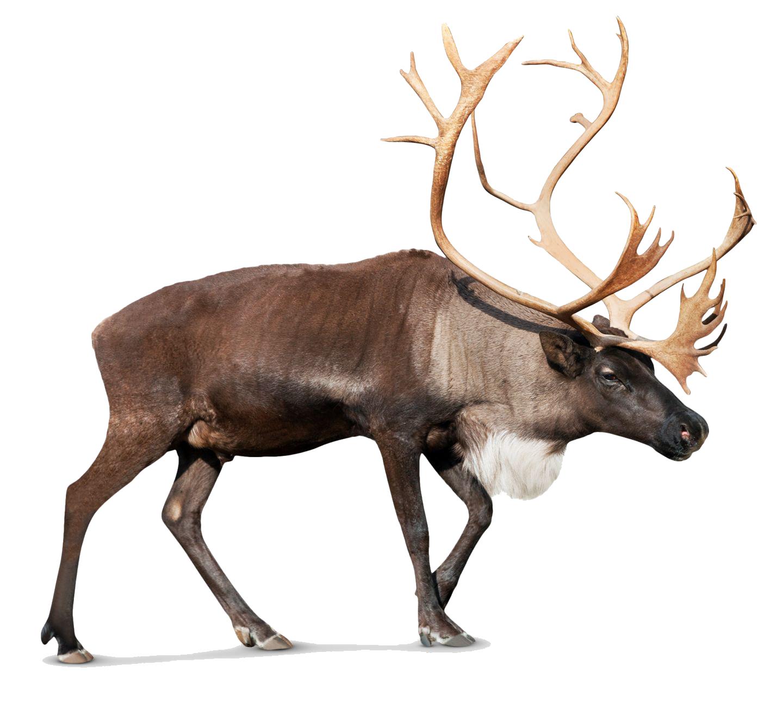 Png photos pinterest background. Clipart reindeer herd