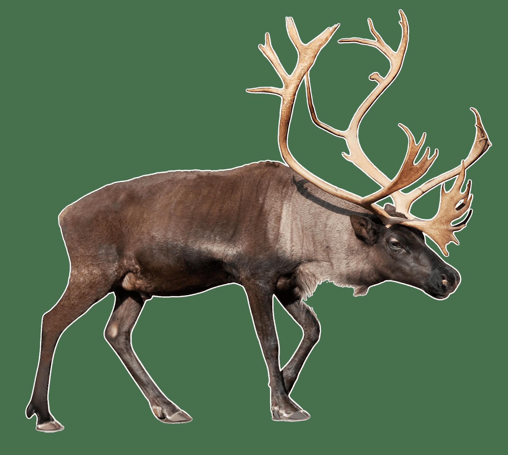 Moose clipart transparent background. Large reindeer caribou png