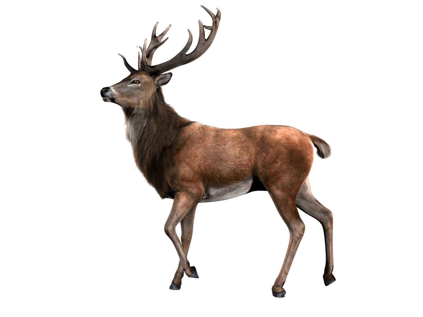 Reindeer looking transparent png. Deer clipart walking